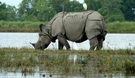 One-horned-Rhinos-at-Assam