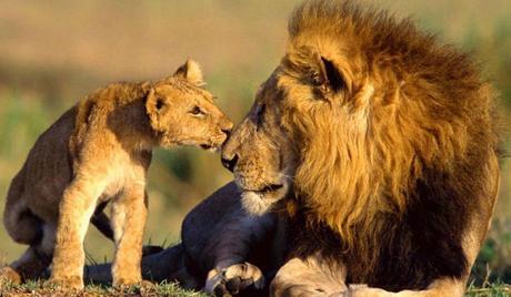 Spot-Asiatic-Lions-at-Gujarat