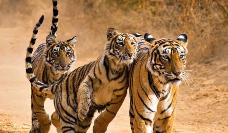 Capture-bangal-tigers
