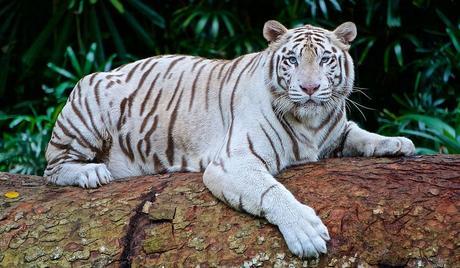 White-Tigers-at-Karnataka