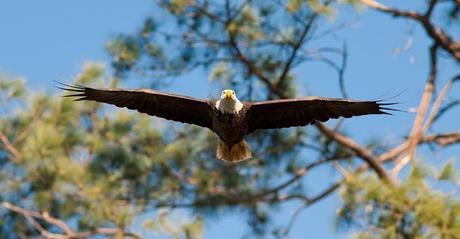 Image: Flying Bald Eagle, by Skeeze on Pixabay