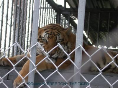 Tony the Truck Stop Tiger is headed for a better life