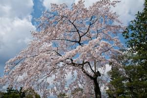 getting deported south korea cherry blossoms