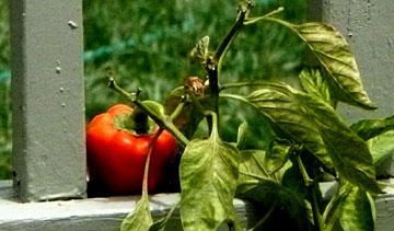 The Bell Pepper Uprising