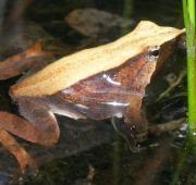 Darwin's Frog