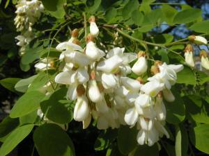 Robinia pseudoacacia flower (30/04/2011, London)