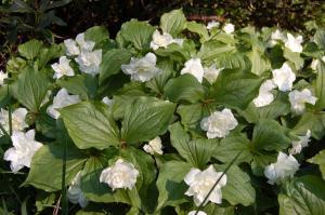 Trillium grandiflorum 'Flore Pleno' (22/04/2011, Kew Gardens, London)