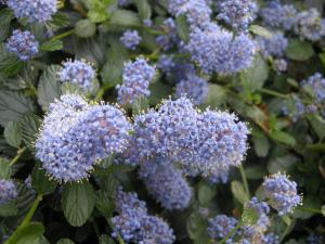 Ceanothus thyrsiflorus repens flower (01/05/2011, London)