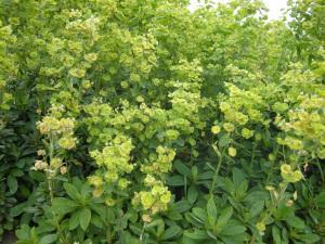 Euphorbia amygdaloides robbiae (01/05/2011, London)