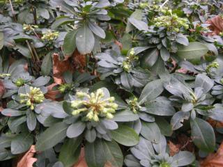 Euphorbia amygdaloides robbiae winter foliage (11/01/2012, London)