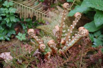 Polystichum setiferum Emerging Frond (05/05/2012, Kew Gardens, London)