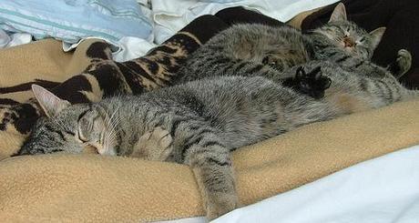 sleeping cats - Sancho & Pablo