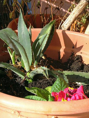 primerose & agave