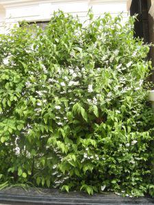 Deutzia scabra Flora Plenar (07/05/2011, London)