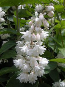 Deutzia scabra Flora Plena flower (07/05/2011, London)
