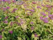 Plant Week: Spiraea Japonica 'Goldflame'