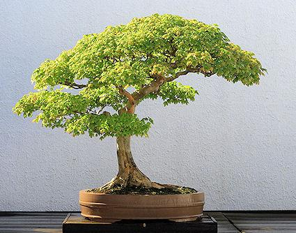 15 Most Awesome Bonsai Trees On Earth