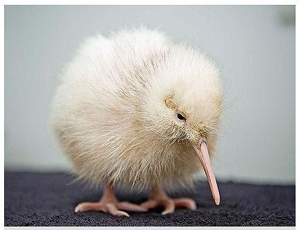 Rare White Kiwi Chick Hatched