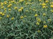 Plant Week: Phlomis Russeliana