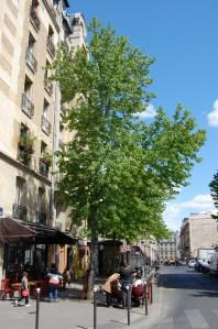 Liquidambar styraciflua fruit (14/05/2011, Paris)