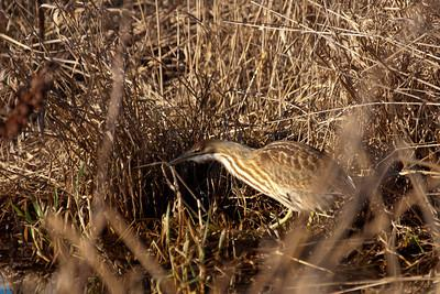 The American Bittern showing it's perfect camouflage.