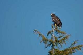 Walking onThe Dyke. Part II( Bald Eagle).