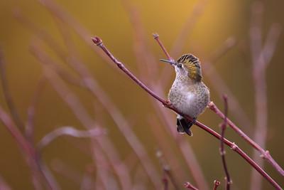 Anna's Humingbird(Calypte anna)