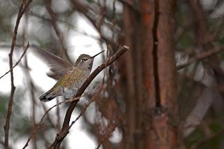 Hummingbirds arrived ?