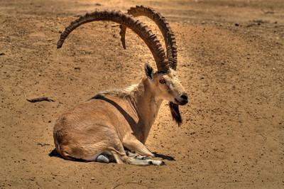 The Nubian ibex (Capra ibex nubiana).