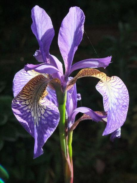 Watercolour No 10 – Iris sibirica