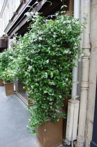 Trachelospermum jasminoides (15/05/2011, Paris)