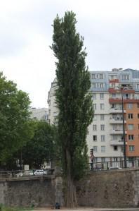 Populus nigra italica (16/05/2011, Paris)