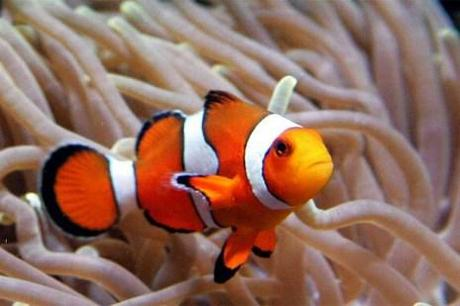 Global warming could mean curtains for clown fish