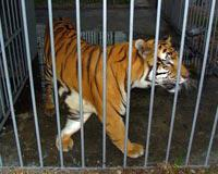 Tony the Tiger kept in tiny cage at a truck stop in Louisiana.