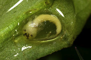 Great Crested Newt embryo