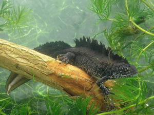 Male Great Crested Newt showing notch in crest