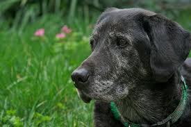 senior dog