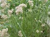 Plant Week: Luzula Nivea