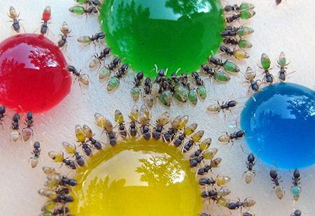Ghost Ants Change Color According To The Food They Eat