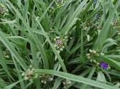 Plant Week: Tradescantia Virginiana