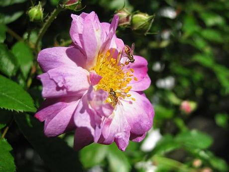 Busy-Bees-Pollinating-Spring-Roses