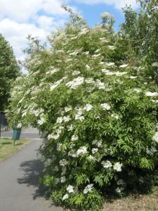 Sambucus nigra (21/05/2011, London)