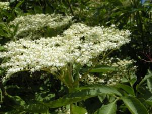 Sambucus nigra flower (21/05/2011, London)