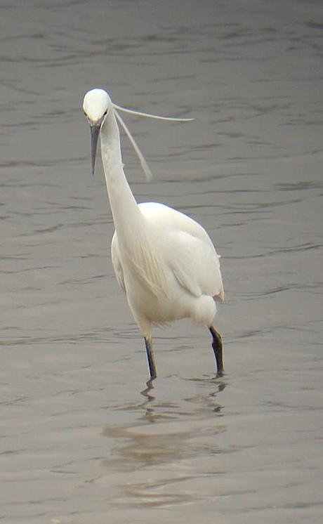 white egret pair in mating plumage at Farmoor Reservoir, Pinkhill Meadow hide