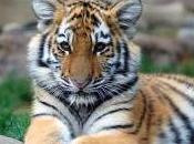 Featured Animal: Tiger
