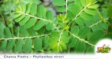 What are the health benefits of Chanca Piedra?-Phyllanthus Niruri