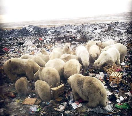 Novaya Zemlya in Russia invaded by Polar bears !!