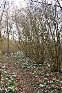A snowdrop wood in Normanton