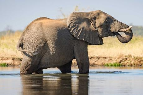 fresh trouble for elephants at Botswana