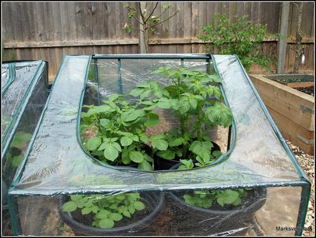 Preparing potatoes for planting